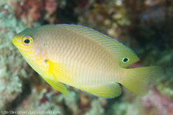 BD-141021-Bali-5871-Pomacentrus-amboinensis.-Bleeker.-1868-[Ambon-damsel].jpg